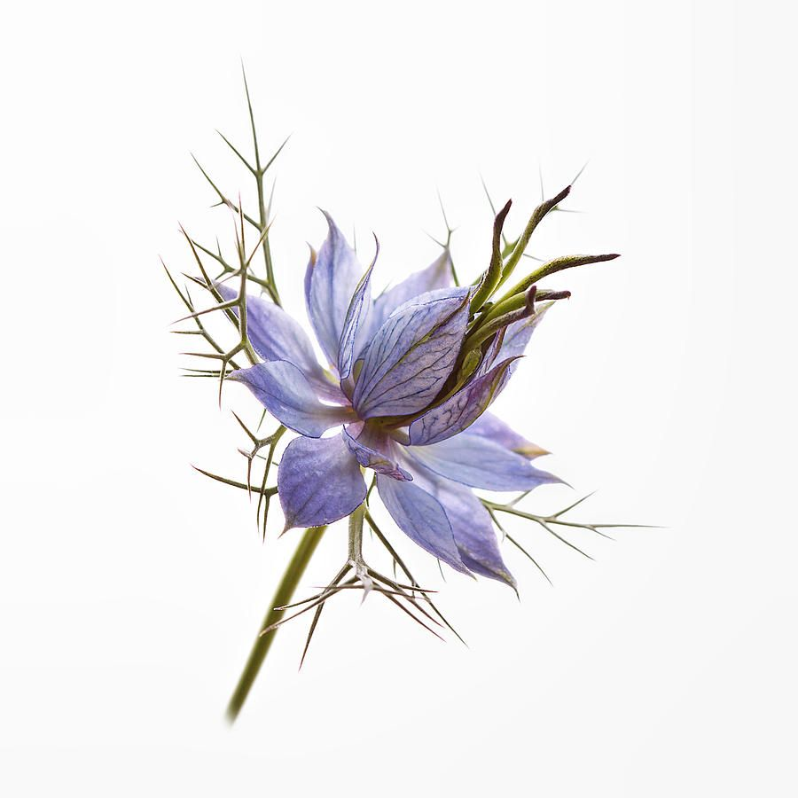 Love In A Mist Drawing Google Search Watercolor Tattoo Flower Flower Pictures Flower Drawing