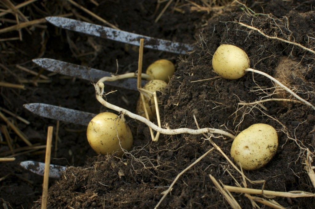 Easy Instructions to Grow Organic Potatoes in Containers via Cubit's Organic Living (this is a really great tutorial!)