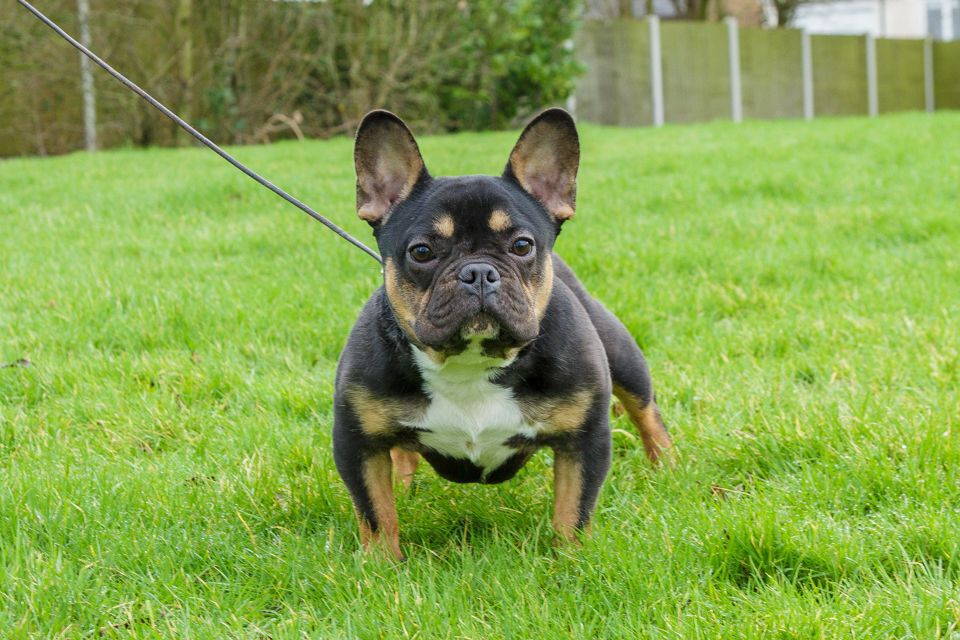 French Bullweiler French Bulldog Rottweiler Mix Must Have Poodle Mix Puppies Rottweiler Mix Most Beautiful Dog Breeds