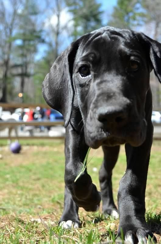 Rare Color Fawnequin Great Dane Are There Correct Colors In