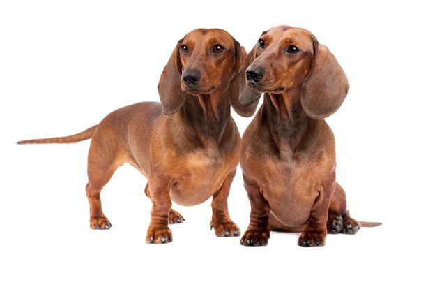 Dachshund Dachshund Dog Dog Breeds Dachshund