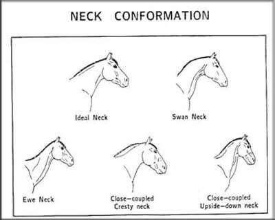Neck Conformation Horse Anatomy Horses Horse Facts