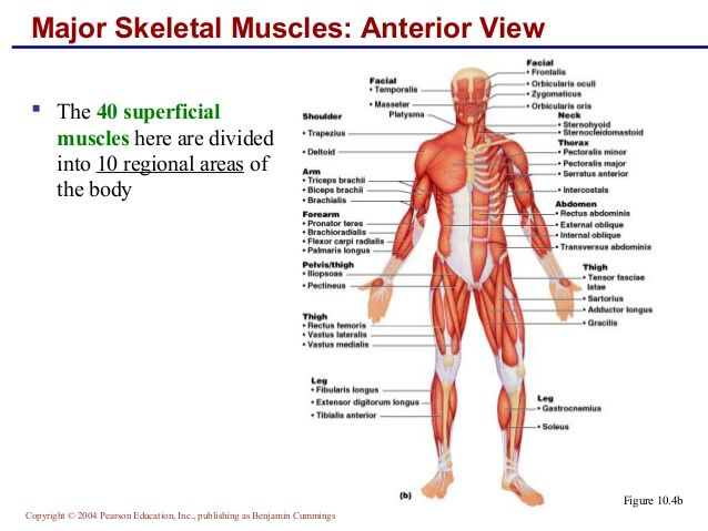Major Skeletal Muscles Anterior View The 40 Superficial Muscles
