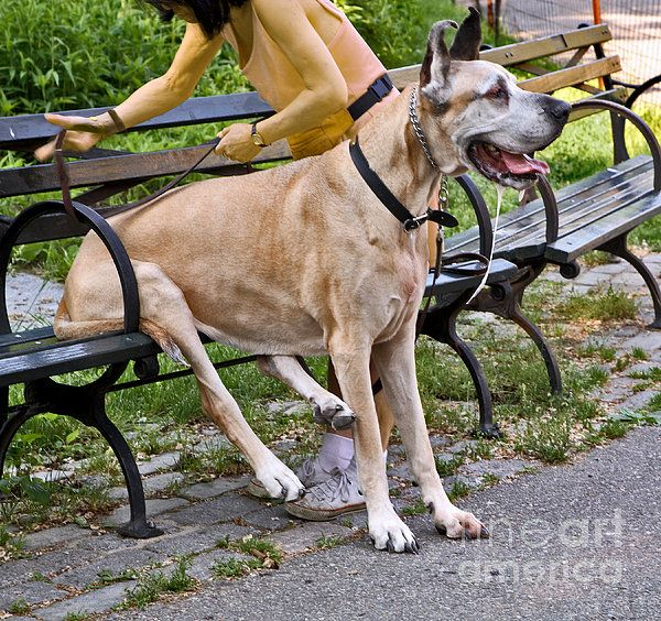 Great Dane Sitting On Park Bench By Madeline Ellis Great Dane Dane Park Bench