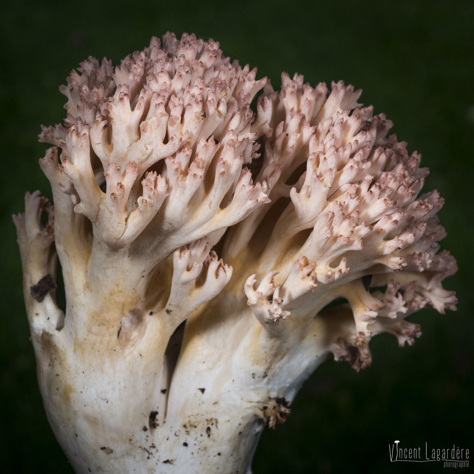 Ramaria Botrytis Clavaire Chou Fleur Avec Images Chou Fleur