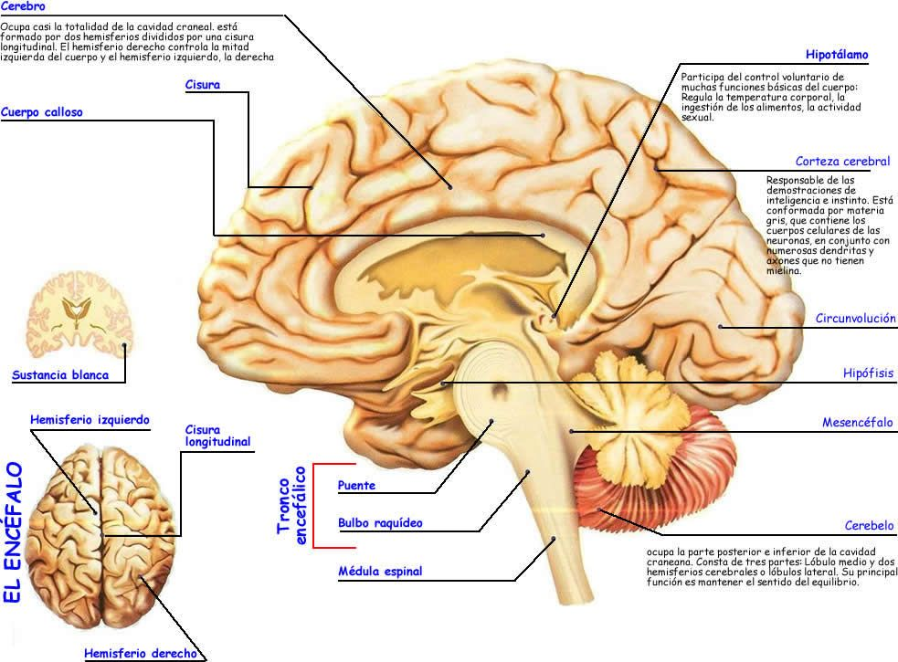 Anatomia cerebral. | Fisioterapia | Pinterest | Brain, Salud and ...