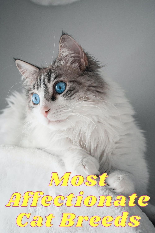 Most Affectionate Cat Breeds #instacats #catlove #cutecat #animal #petstagram #catsofig #ilovemycat #kittycat #dog #catloversclub #instagood #catsofinsta #catslover #blackcat
