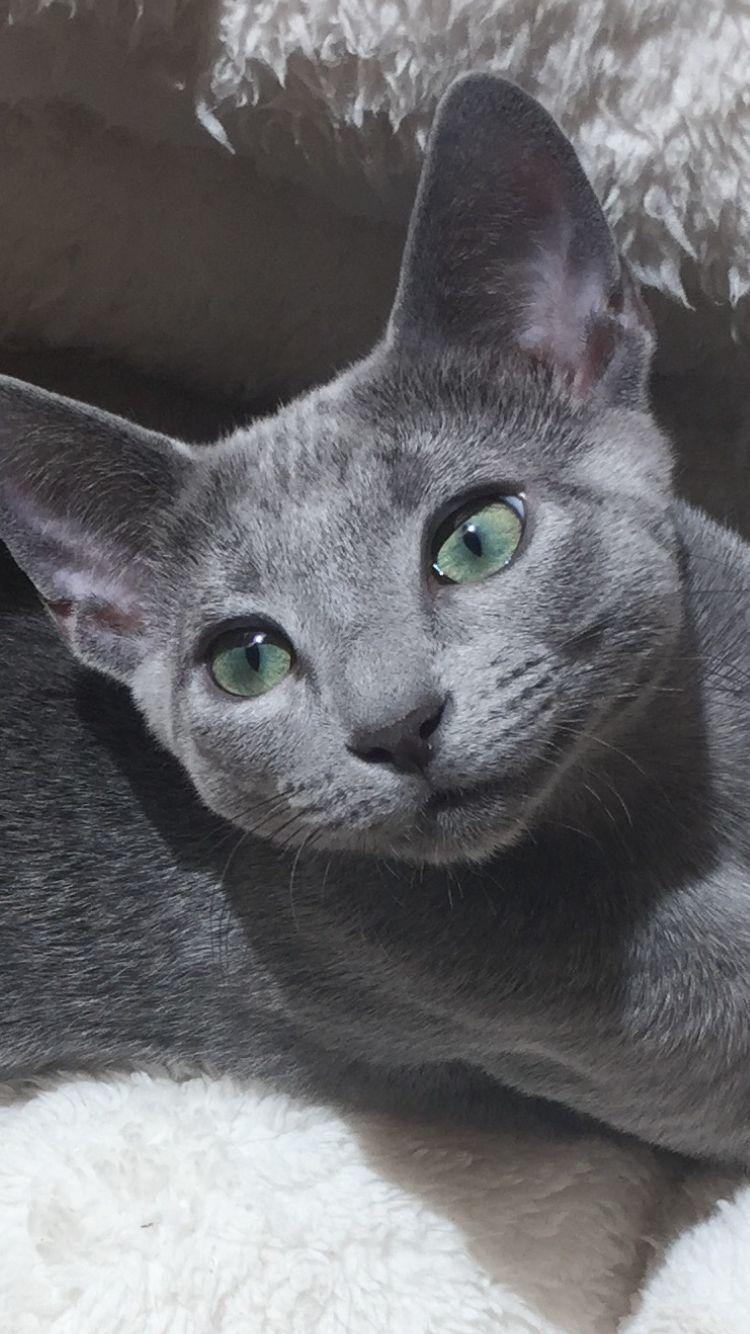 Cat Cute Love Russian Blue Cat Russian Blue Cute Cats And Kittens