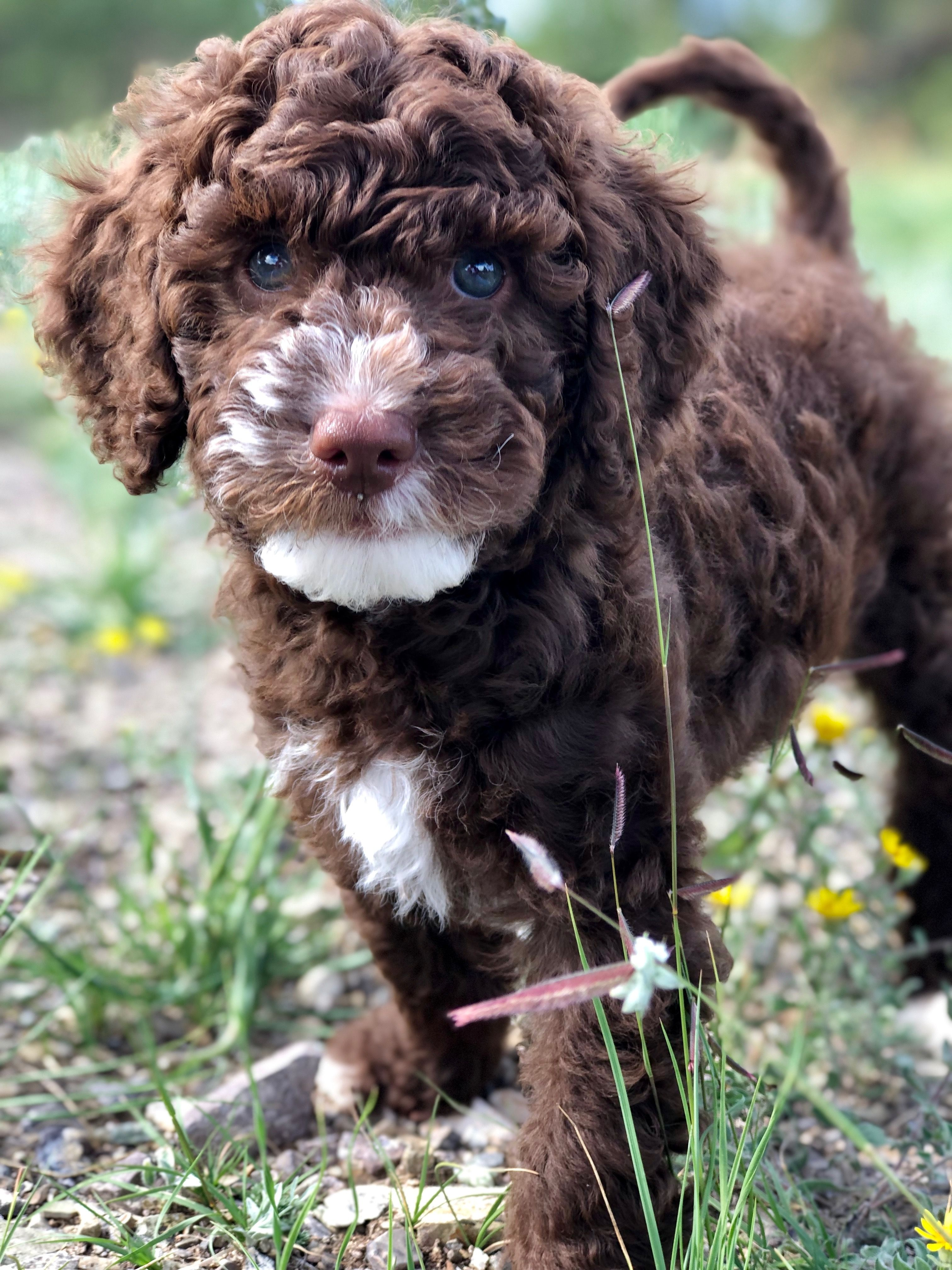 Chocolate And White Australian Labradoodle Puppy Labradoodle