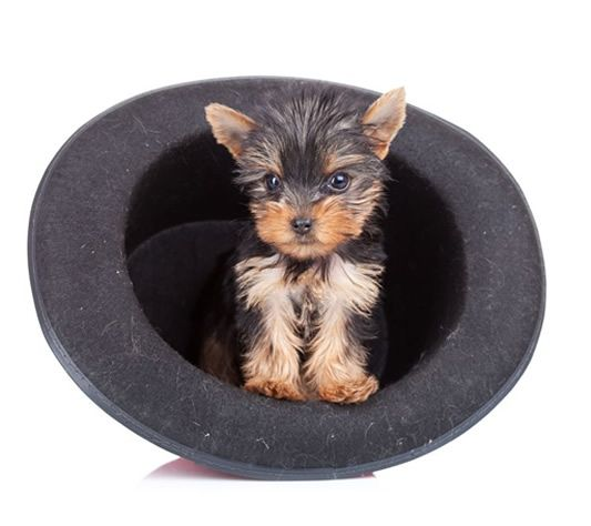 Akc Certified Puppies For Sale In Westchester Ny Through Ny Breeder Teacup Yorkie Yorkshire Terrier Teacup Yorkshire Terrier