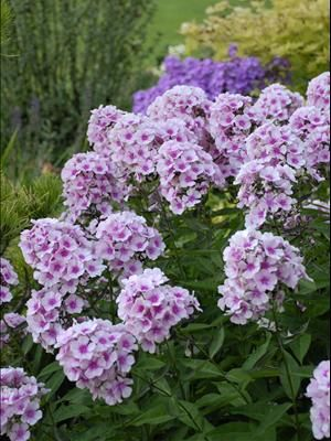 Tall Garden Phlox Bright Eyes From Walters Gardens Inc With