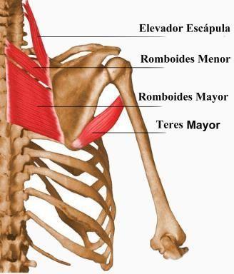 Romboides Mayor, Romboides Menor, Elevador de la Escápula y Teres ...