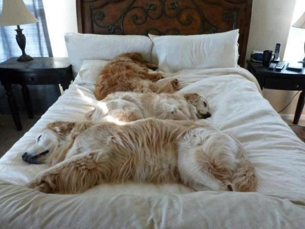 50 Sleepy Dogs Who Re Definitely Not Letting You Sleep In Your Bed Tonight Sleeping Dogs Sleepy Dogs Dogs