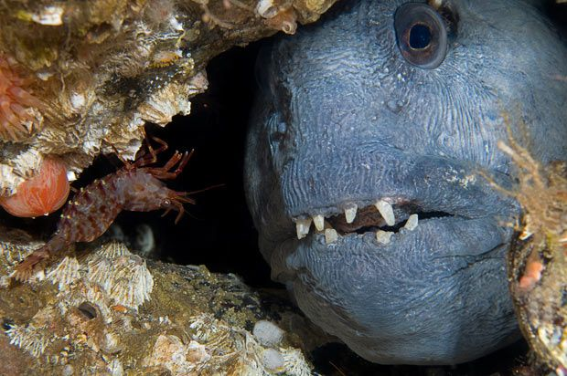 Atlantic Wolffish How Can One Not Love That Face