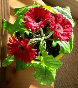 How To Take Care Of Potted Gerbera Daisies Garden Guides In