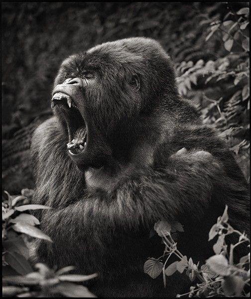 Gorilla Baring Teeth, Parc des Volcans, Nick Brandt, 2008