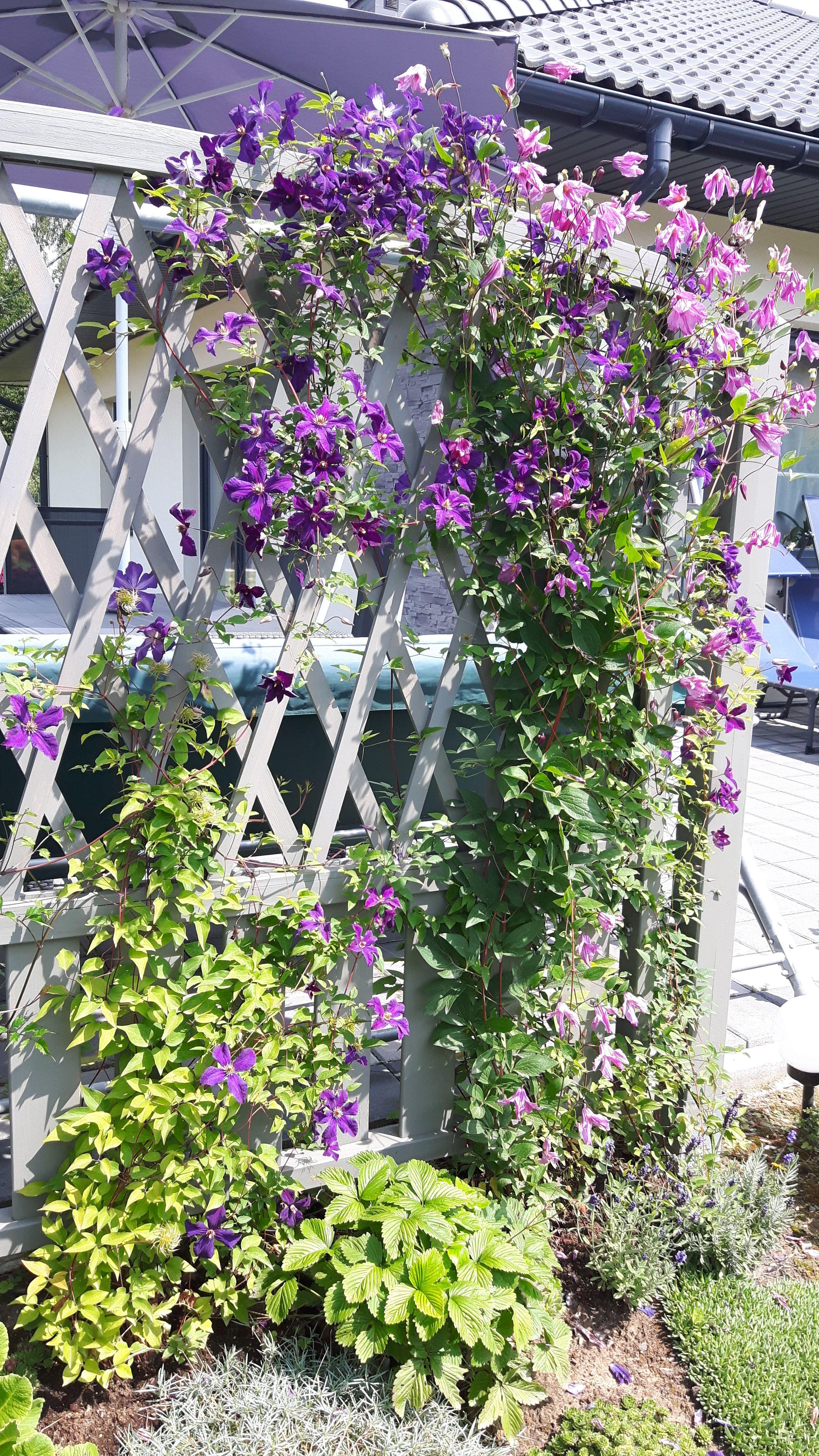 Kwitnace Pnacza Na Pergoli Powojniki Clematis Plants Garden