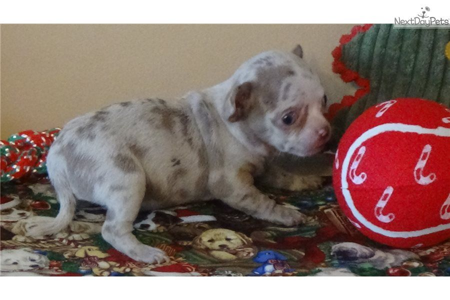 Lavender Merle Chihuahua Puppy For Sale Near Greenville Upstate South Carolina 9fb8a78c 9c61 Chihuahua For Sale Merle Chihuahua Chihuahua
