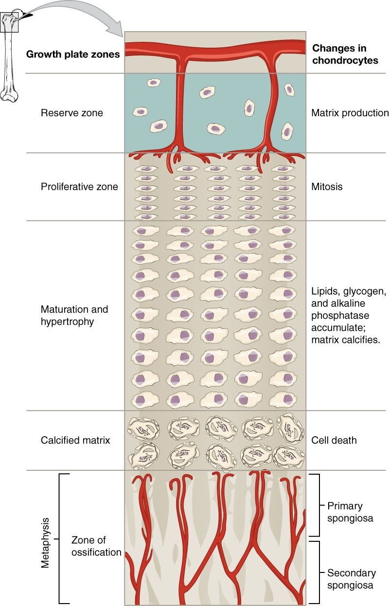 growth plate diagram | Histology - Cartilage and Bone | Pinterest ...