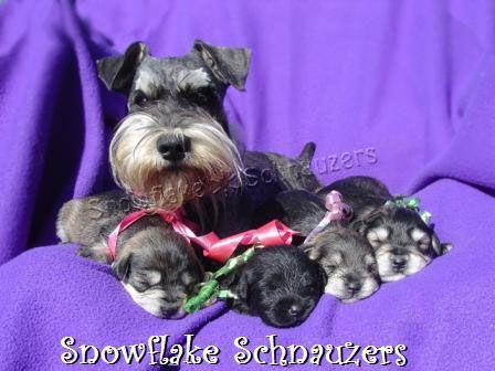 Snowflake Schnauzers Miniature Schnauzer Puppies Miniature Schnauzer Puppies Available Miniature Schnauzer Puppies Schnauzer Puppy Schnauzer