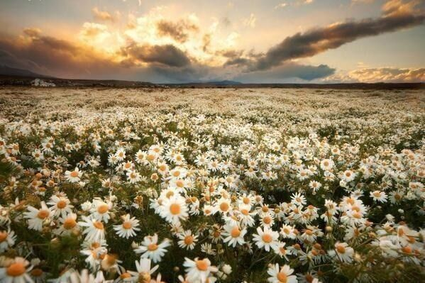 Daisy field | Daisy field, Earth pictures, Nature photography