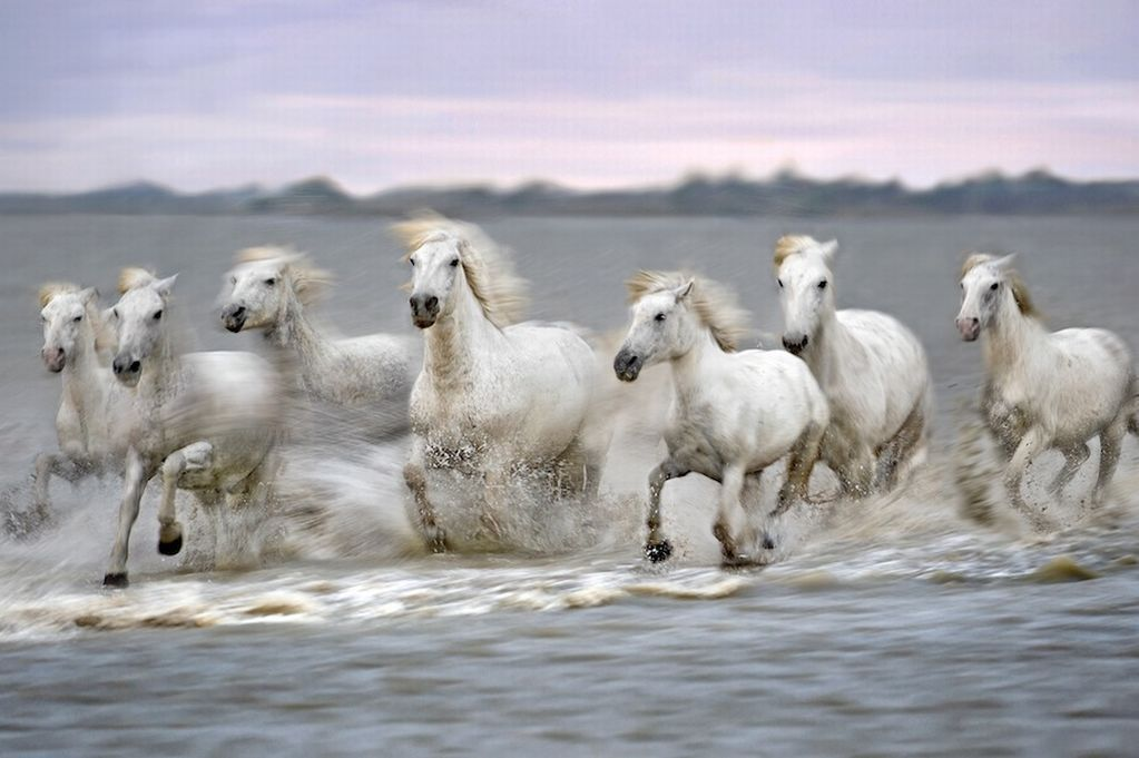 See Rare Camargue Horses Racing Through Sea In Incredible Images Camargue Horse Horses White Horses