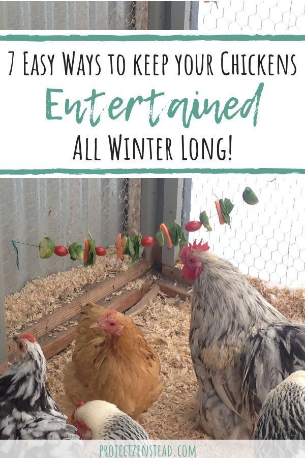 7 Easy Ways to Keep your Chickens Entertained this Winter ...