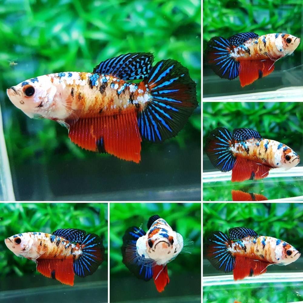 PKF223 Imported HM Koi Galaxy Betta Fish FEMALE
