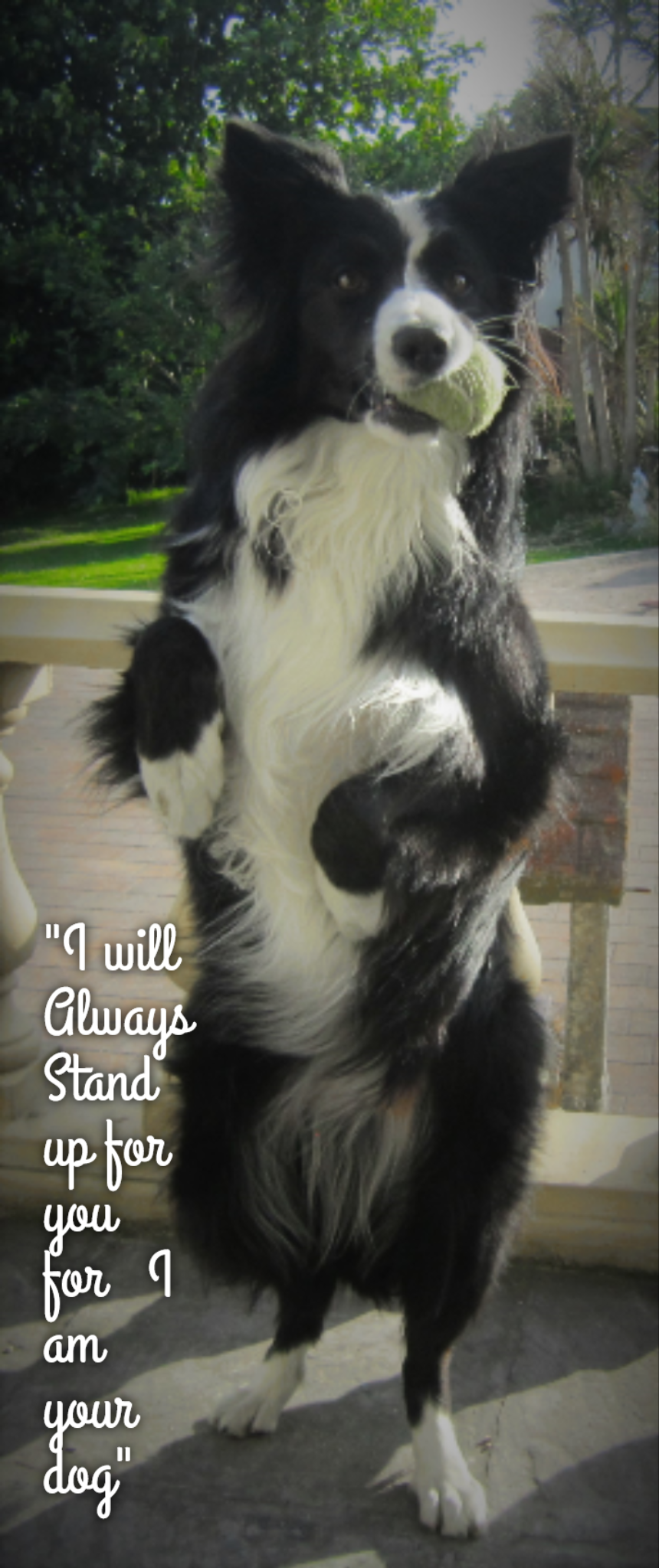 Loving new border looking homes for collies Border Collie