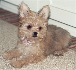 White Long Haired Chihuahua Teacup Yorkie Chorkie O This