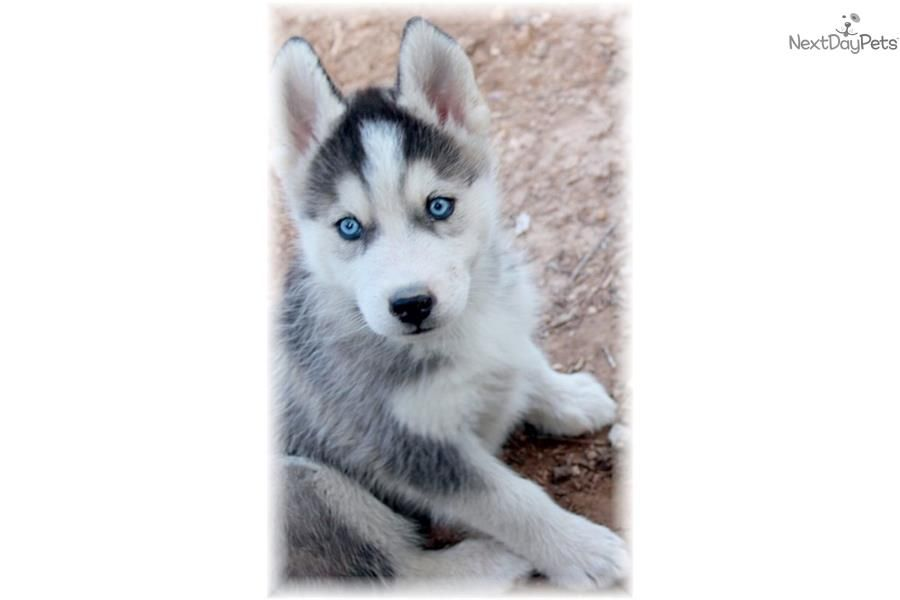 Gorgeous Jax Low Content Wolf Husky Wolf Hybrid Wolf Husky Husky