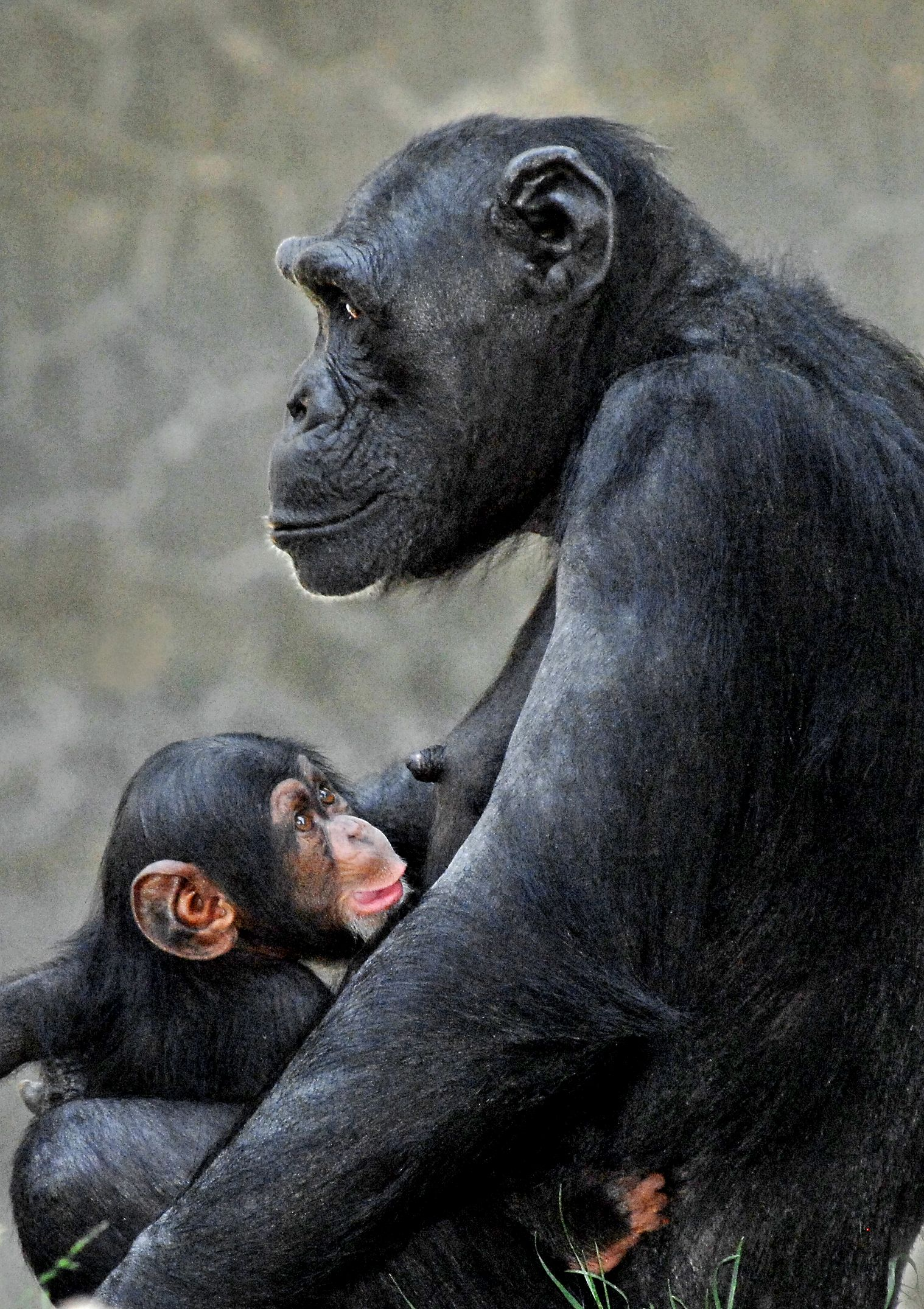 Los Angeles Zoo Welcomes Ridiculously Adorable Baby Animals Baby Chimpanzee Baby Animals Funny Cute Baby Animals