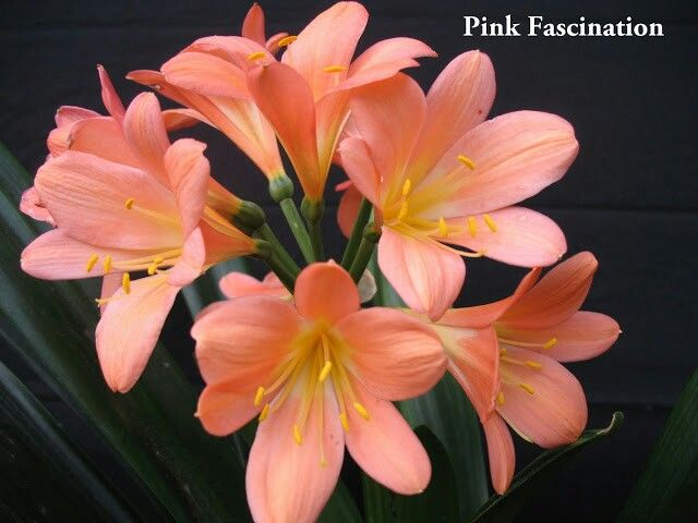 Clivia Pink Fascination