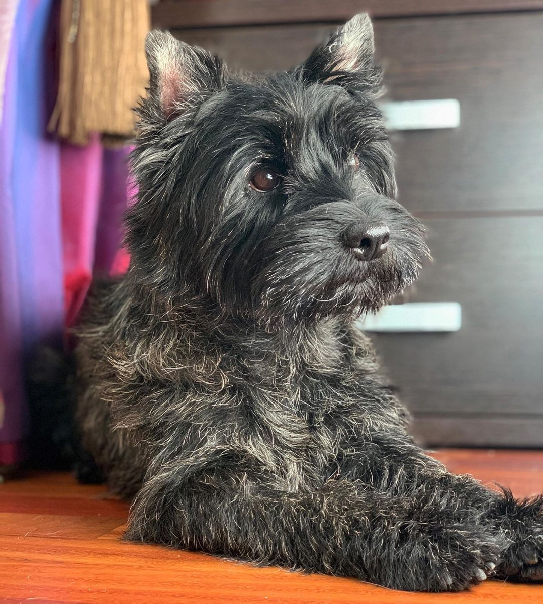 моя королева In 2020 Cairn Terrier Terrier Dogs