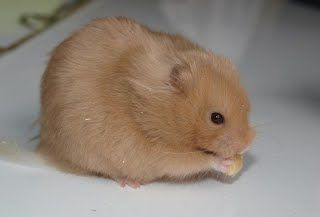 Syrian Hamster Champagne Gallery Of Hamster Colors Dixie Dust