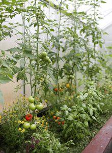 Monet haaveilevat pienestä kasvihuoneesta, jossa voisi viljellä tomaattia, kurkkua, yrttejä ja paprikaa. Kasvihuoneen hankkiminen on kuitenkin melko suuri