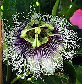 Passiflora Quadrangularis Venezuela Passiflore Plante