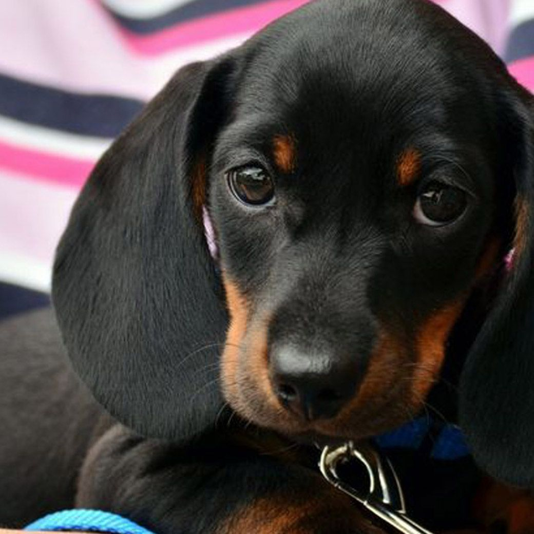 How Do You Stand Up Against These Amazing Puppers No Way To Do It Just My Way Of Seeing It Dachshund Breed Dachshund Pets Weiner Dog