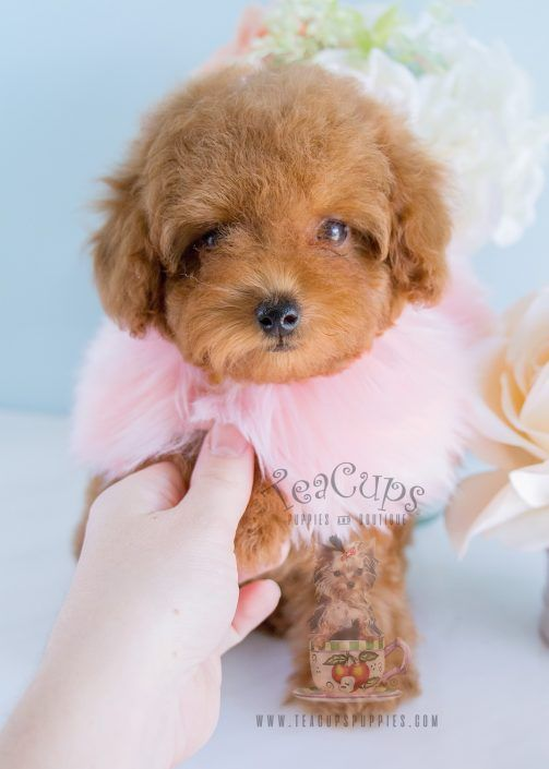 Toy Poodle Puppy For Sale 202 Animal Lover Teacup Puppies For