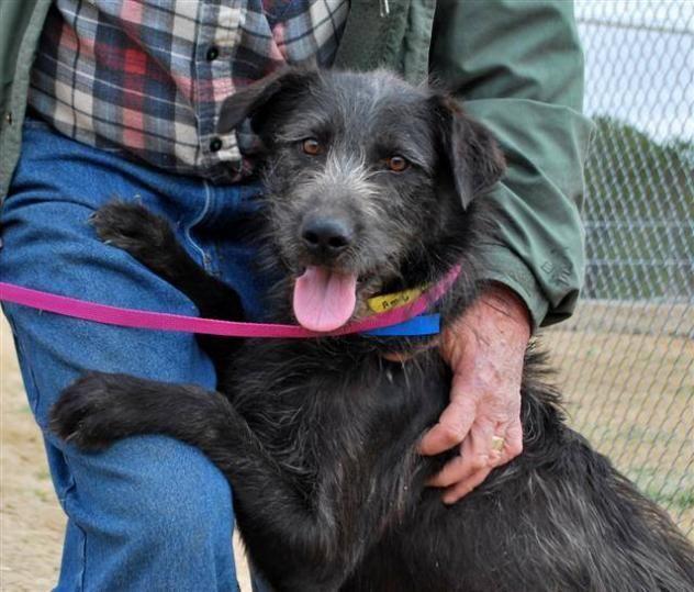 Adopt Baxley The Eternal On Irish Wolfhound Wolfhound Labrador