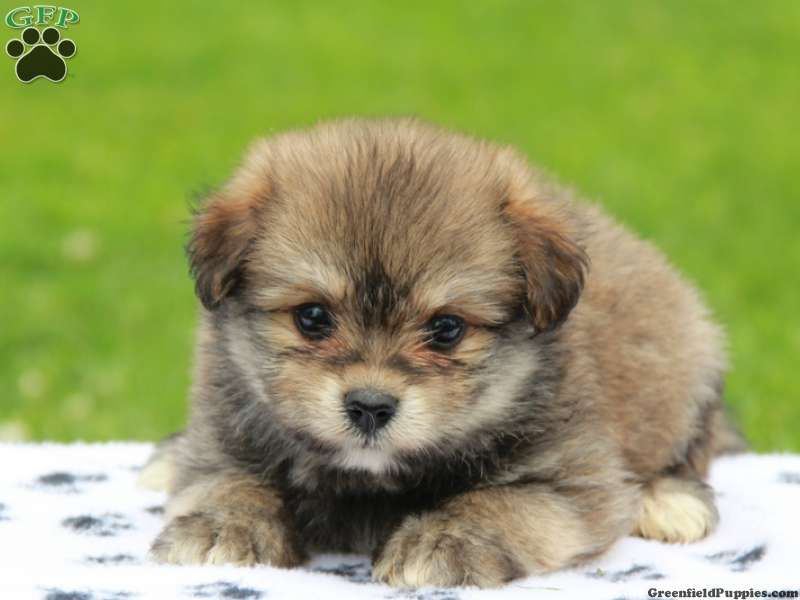 Lucy Bichon A Ranian Puppy For Sale In Pennsylvania With Images Puppies Animals Beautiful Greenfield Puppies