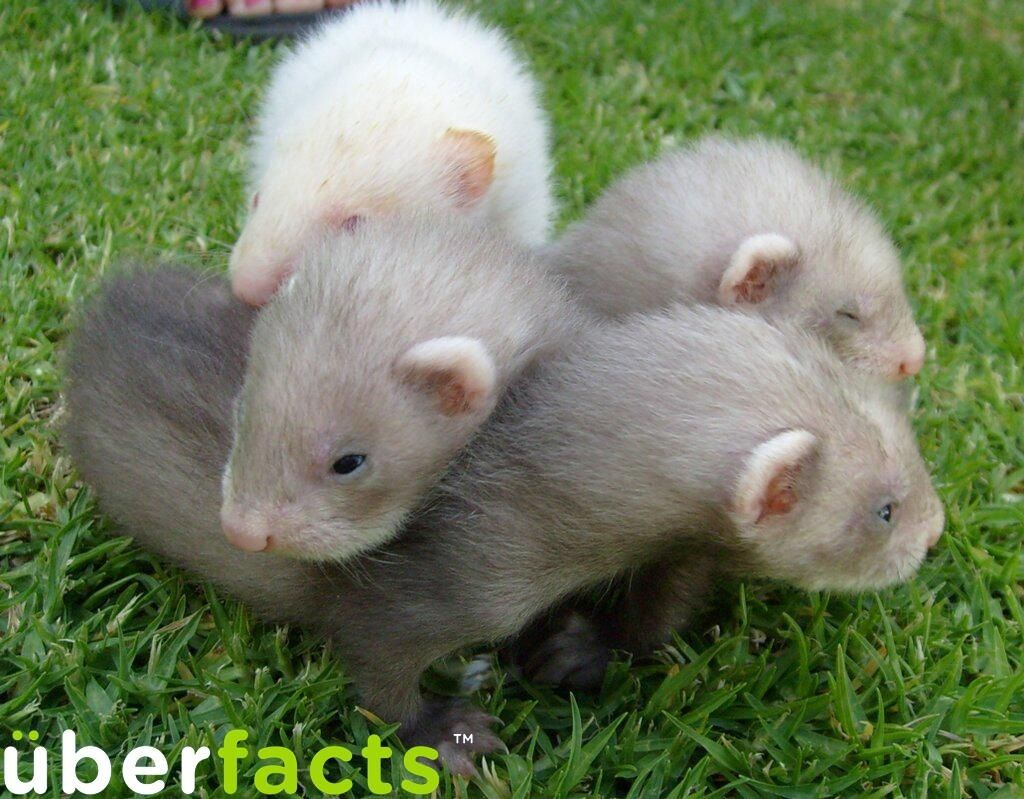 UberFacts Baby ferrets are called kits. Cute ferrets