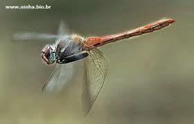 libélulas -