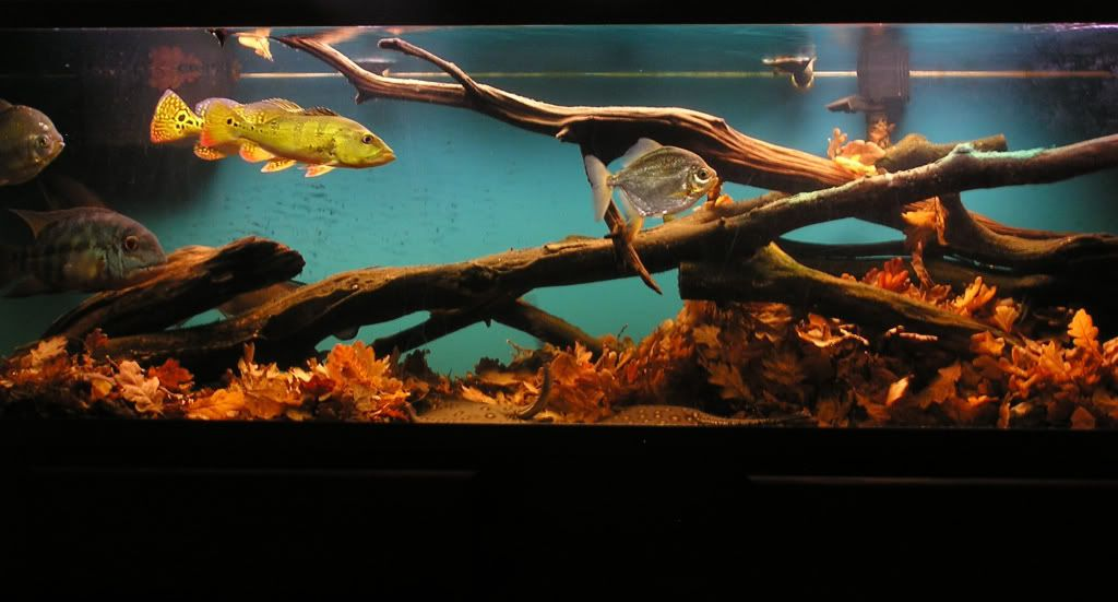 Huge Black Water Biotope With Silver Dollars And Peacock Bass