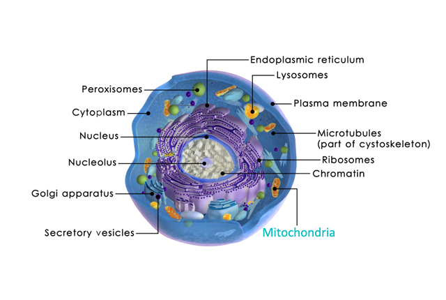 Mitochondria May Be the Missing Link in Understanding