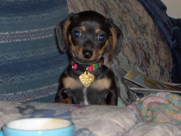 Chi Wiener Chiweenie Puppies Designer Dogs Breeds Chiweenie Dogs