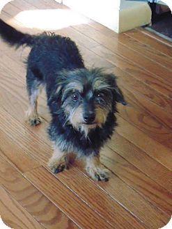Yorkie Yorkshire Terrier Dachshund Mix Dog For Adoption In Mason