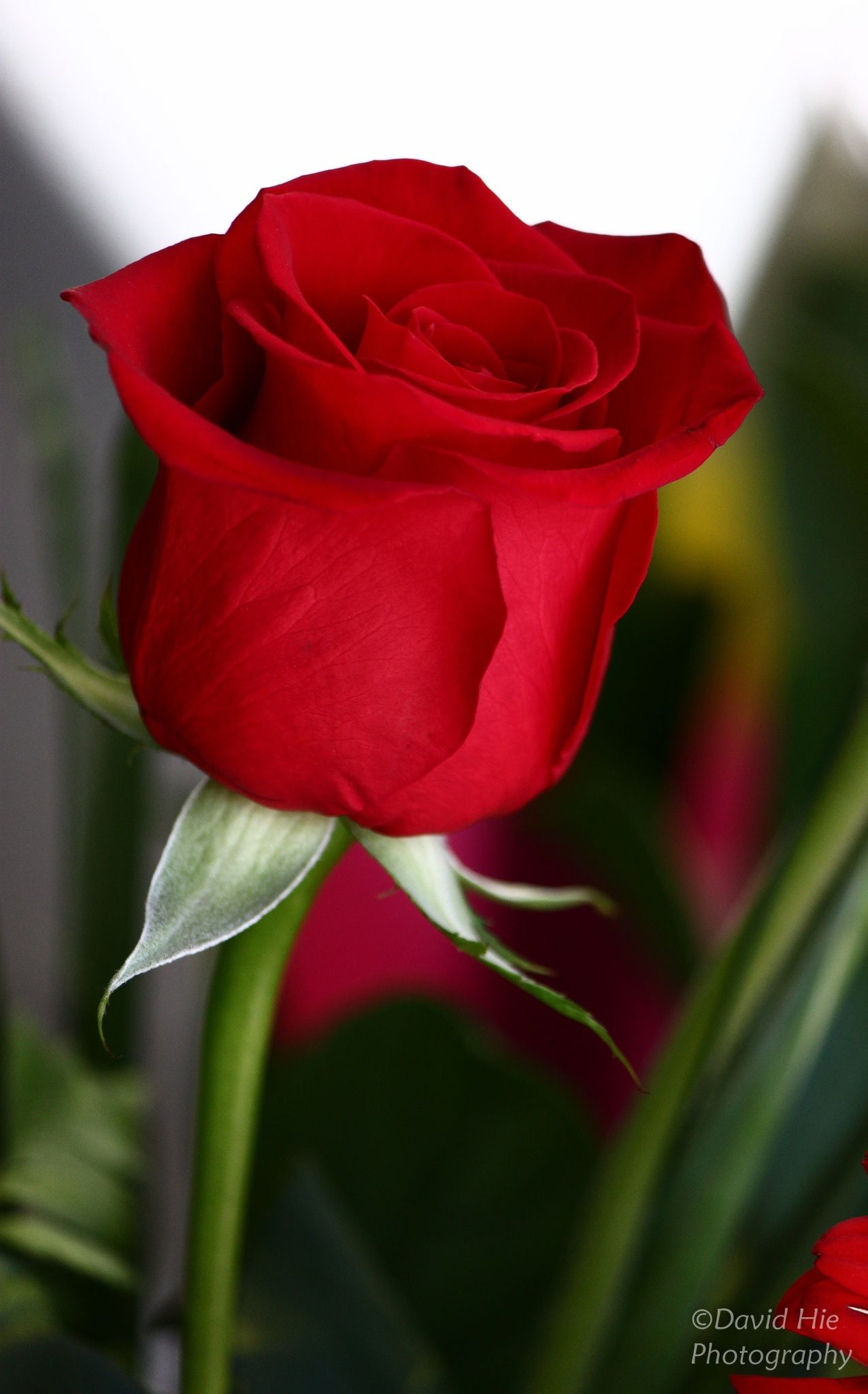Took this beautiful rose shot from a florist shop. I love