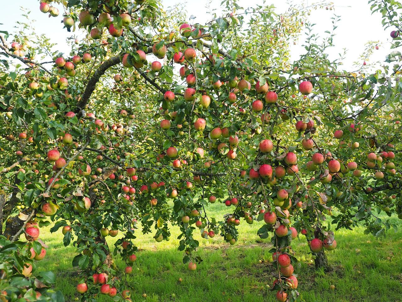 Superb Apple Tree In Your Garden