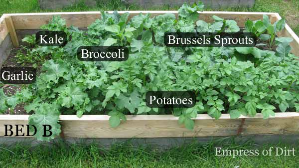 Broccoli, Brussels sprouts, kale, potatoes, and garlic in the June garden.